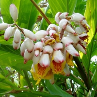 Galangal - Alpinia officinarum